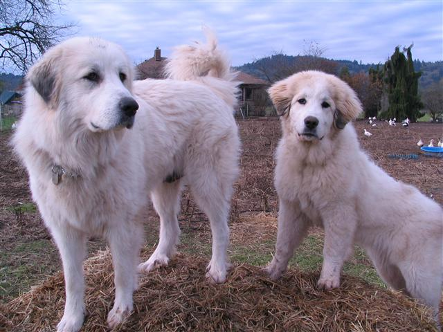 Ami and little Reina Great Pyrenees Dogs