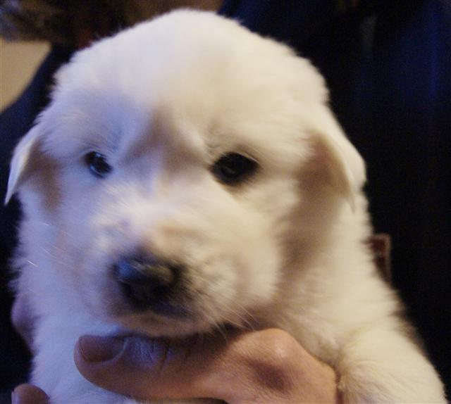 Great Pyrenees Puppy Pending