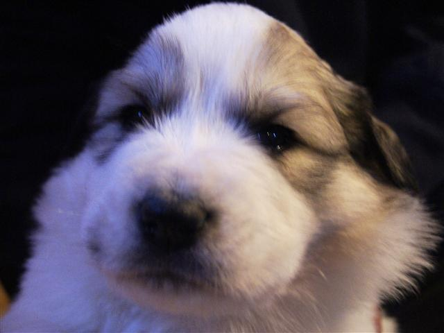 Great Pyrenees Puppy Available